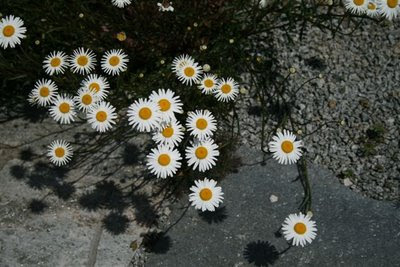 Daisies on the pathway