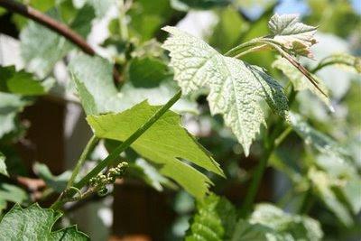 Closeup of tiny grapes forming