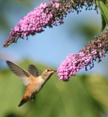 Hummingbird and buddleia