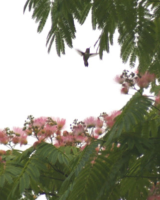 Hummingbird in Silk Tree
