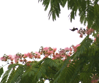 Hummingbird in Albizia julibrissia