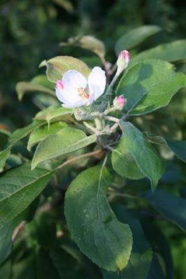 Late apple blossom
