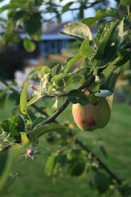 Late apple blossoms with fruit