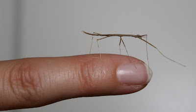 Newborn stick bug