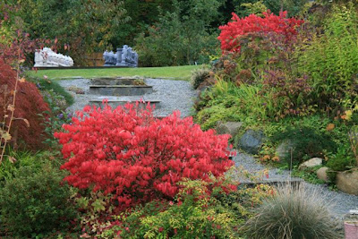 Euonymus elata in autumn red