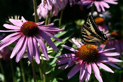 Swallowtail on coneflower