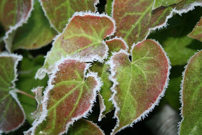 Frosted epimedium leaves