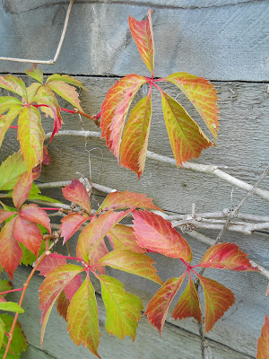 Virginia creeper in late summer