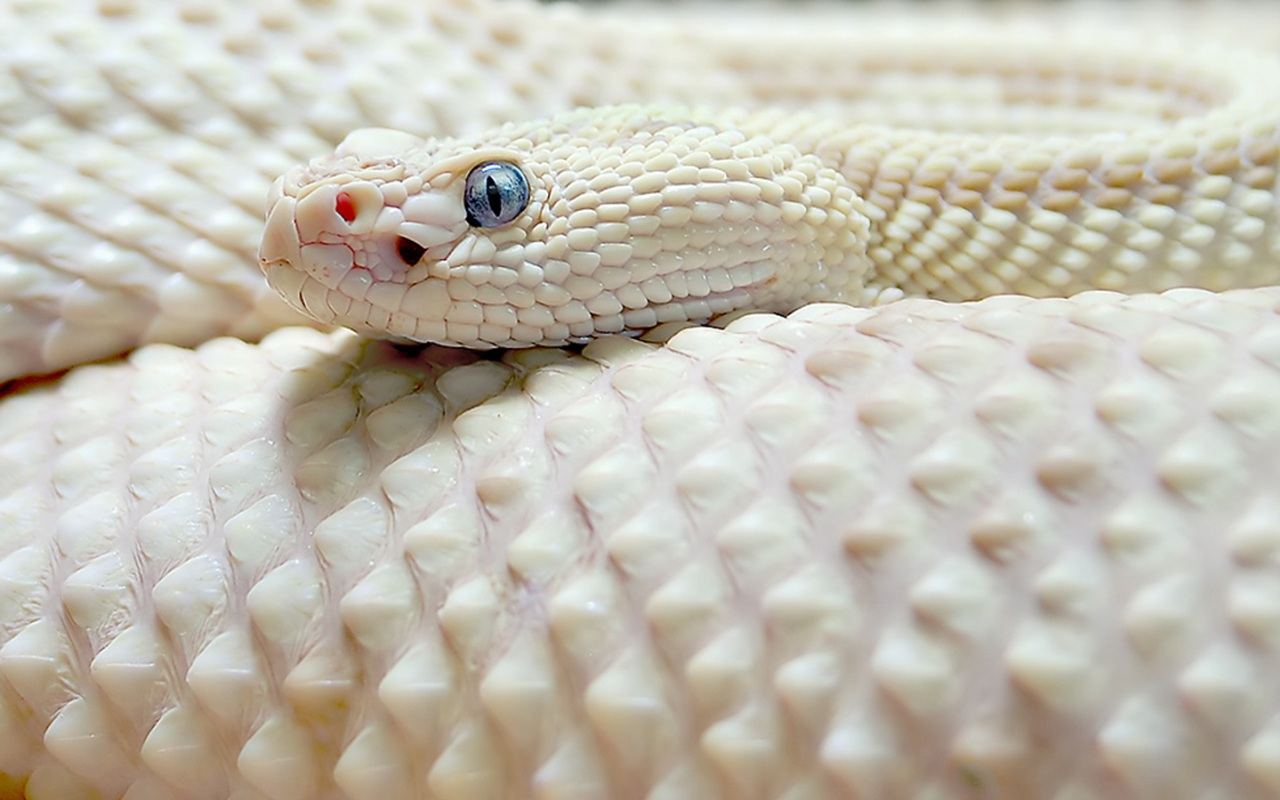 White python snake - photo#4