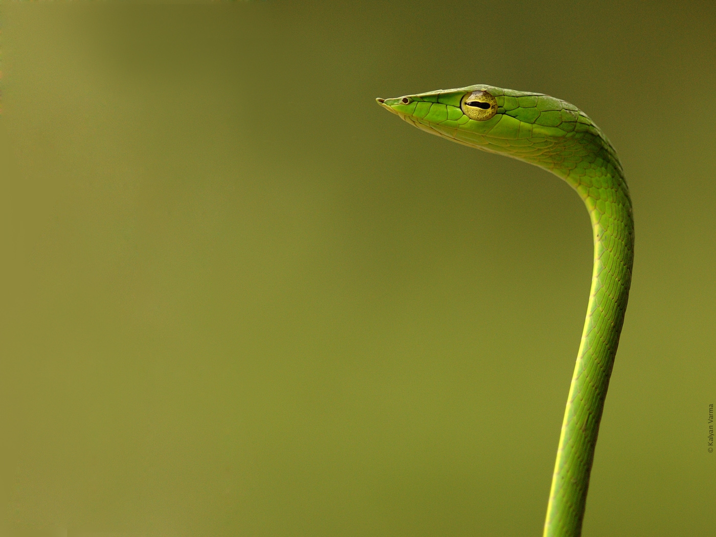 Beautiful Snake Wallpaper, Snake with Bird Wallpaper