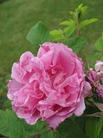 Rosen Du maitre décole