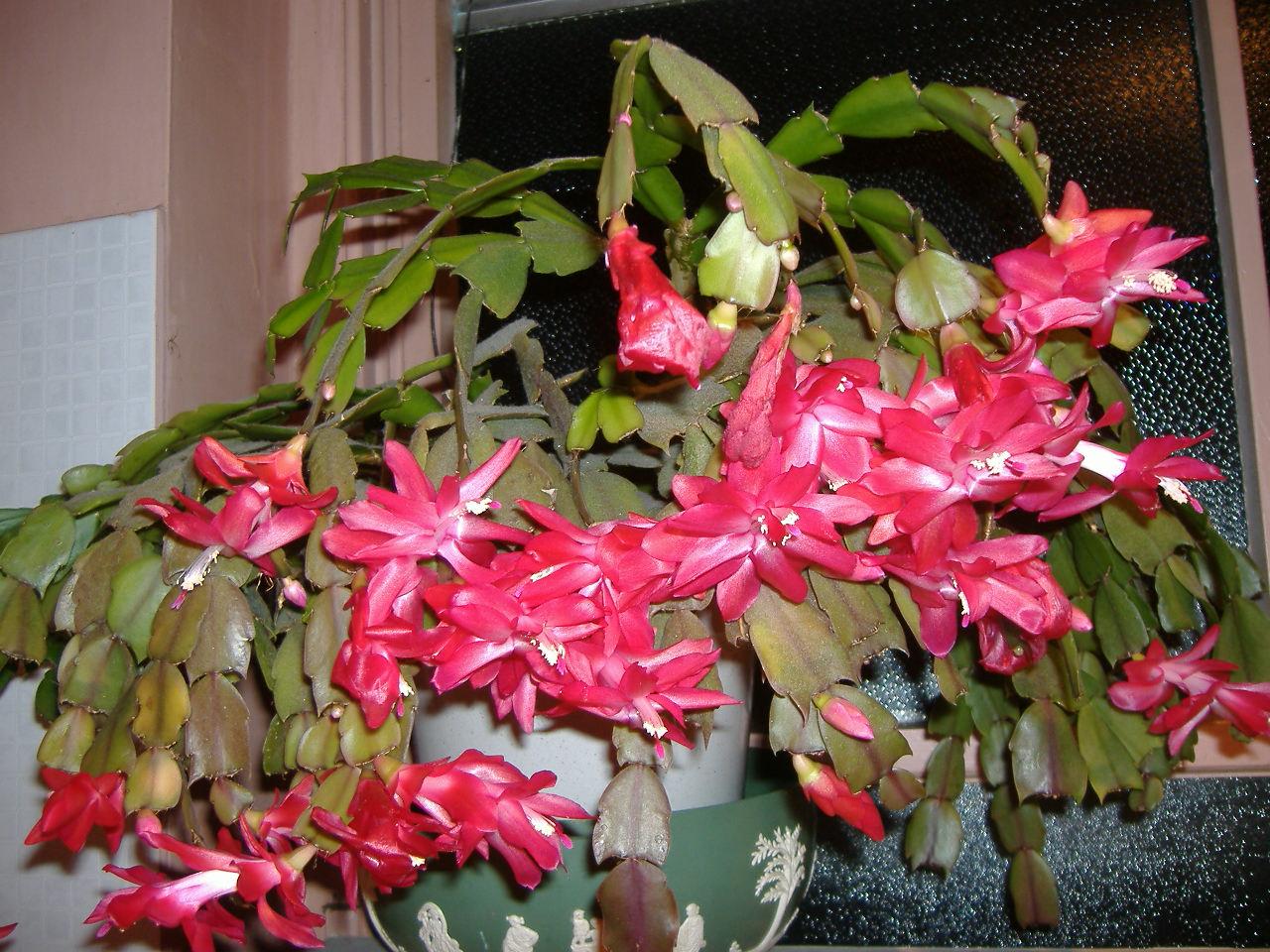 Greguerias y paraphernalia cactus de navidad christmas for Cactus de navidad