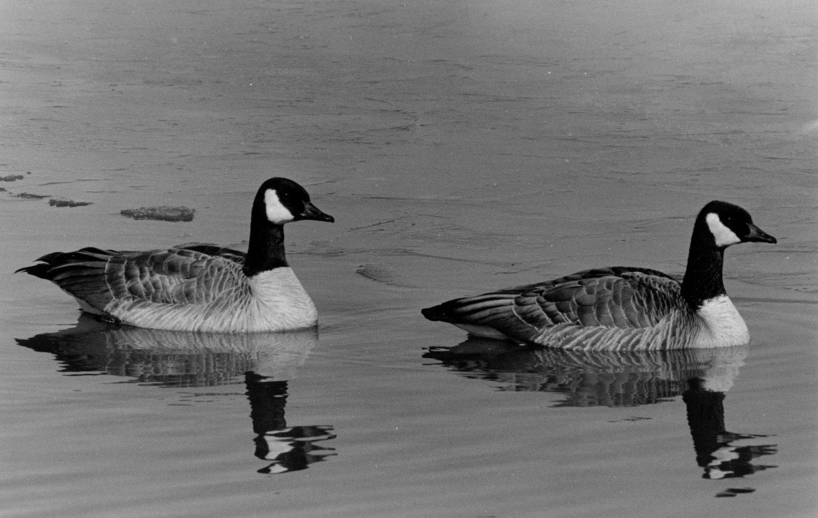 [geese.jpg]