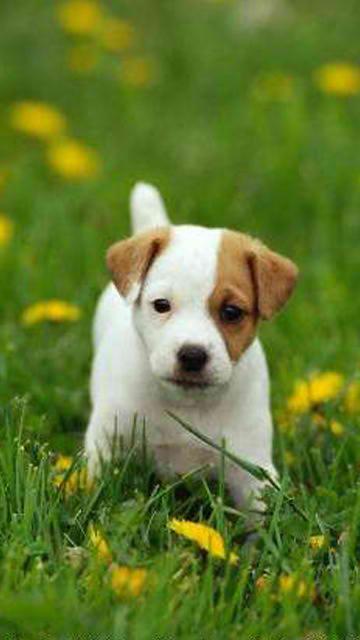 cute puppy wallpaper. Cute Puppies