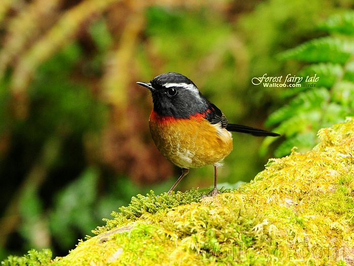 Gorgeous Birds Mountain Spirit Collared Bush Robin Male