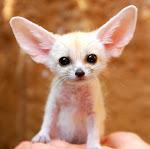 fennec fox...