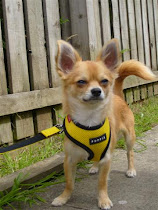 Zac is a 10 month old Red and Cream Longcoat Chihuahua