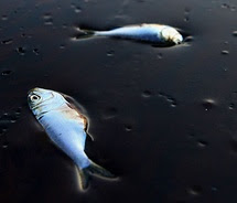 Dead Fish Floating In Oil