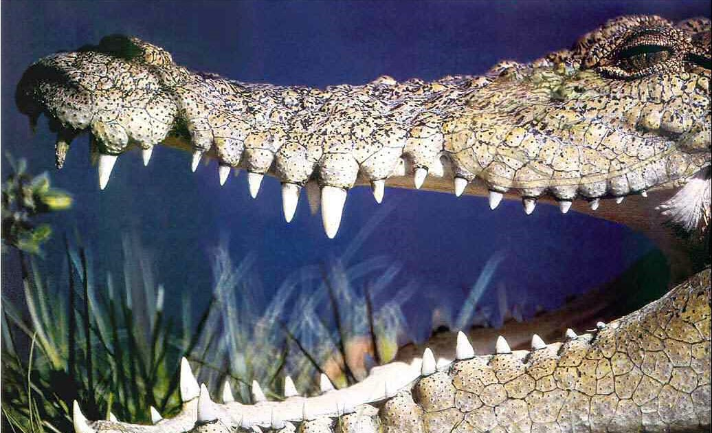 Boca de un cocodrilo   Solo Wallpapers