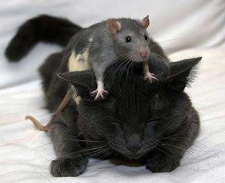 http://4.bp.blogspot.com/_fwGrCrCHEQc/SP8NqmIo7HI/AAAAAAAABFU/wuidzxP-N_I/s400/gato+e+rato.jpg