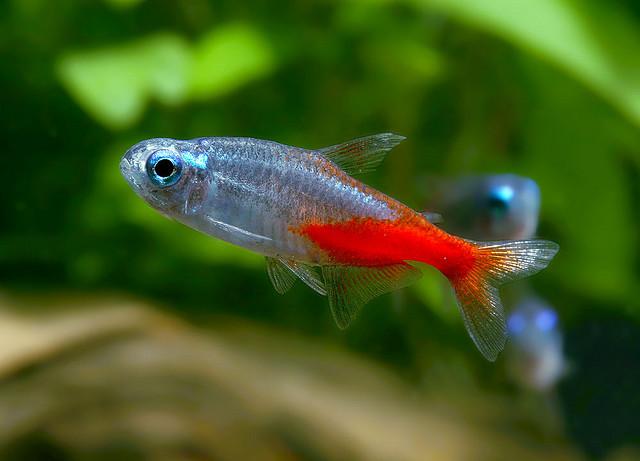 neon tetra paracheirodon innesi exotic tropical On types of tetra fish