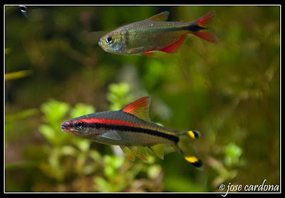 Red Line Torpedo Barb Puntius Denisonii Exotic Tropical Ornamental ...