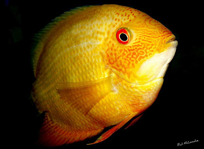 Tropical cichalasoma severum exotic tropical ornamental for Jb tropical fish