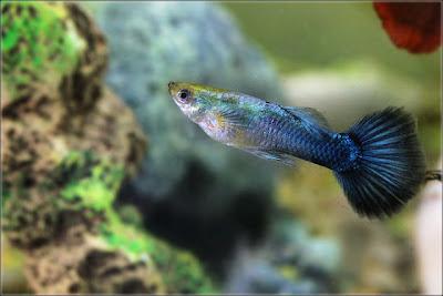 Most Popular Guppy Fish Exotic Tropical Ornamental Fish