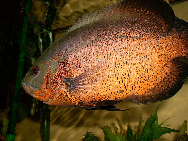 fish tankmates for oscar exotic tropical ornamental fish