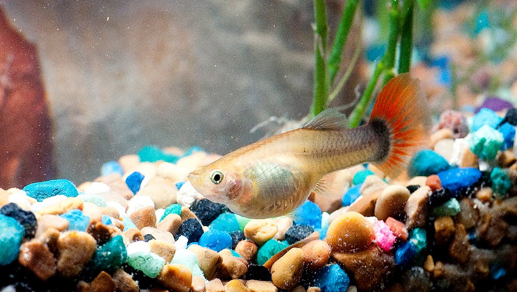 Selecting guppy parent for breeding exotic tropical for How long is a guppy fish pregnant
