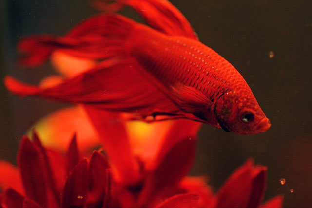 how to protect your betta fish from fin rot