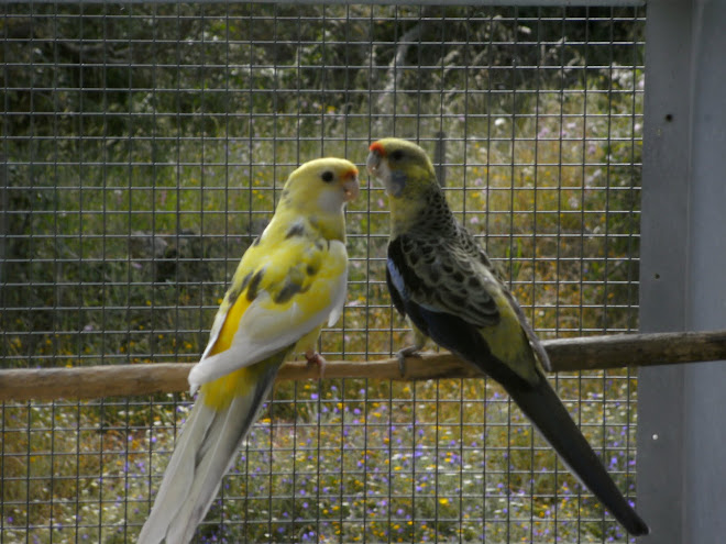 Rosella amarelo (flaveolus) Malhado