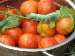 Tomato Hornworm, August 2010