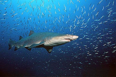 Top 10 World's Deadliest Sharks