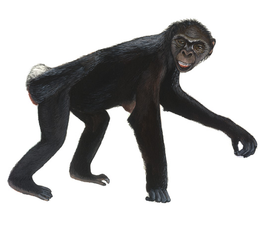 ardipithecus ramidus Ardipithecus ramidus (44 million years ago) because fossil evidence for ardipithecus ramidus is scant, a range of dates for when this species lived is not available species description:.