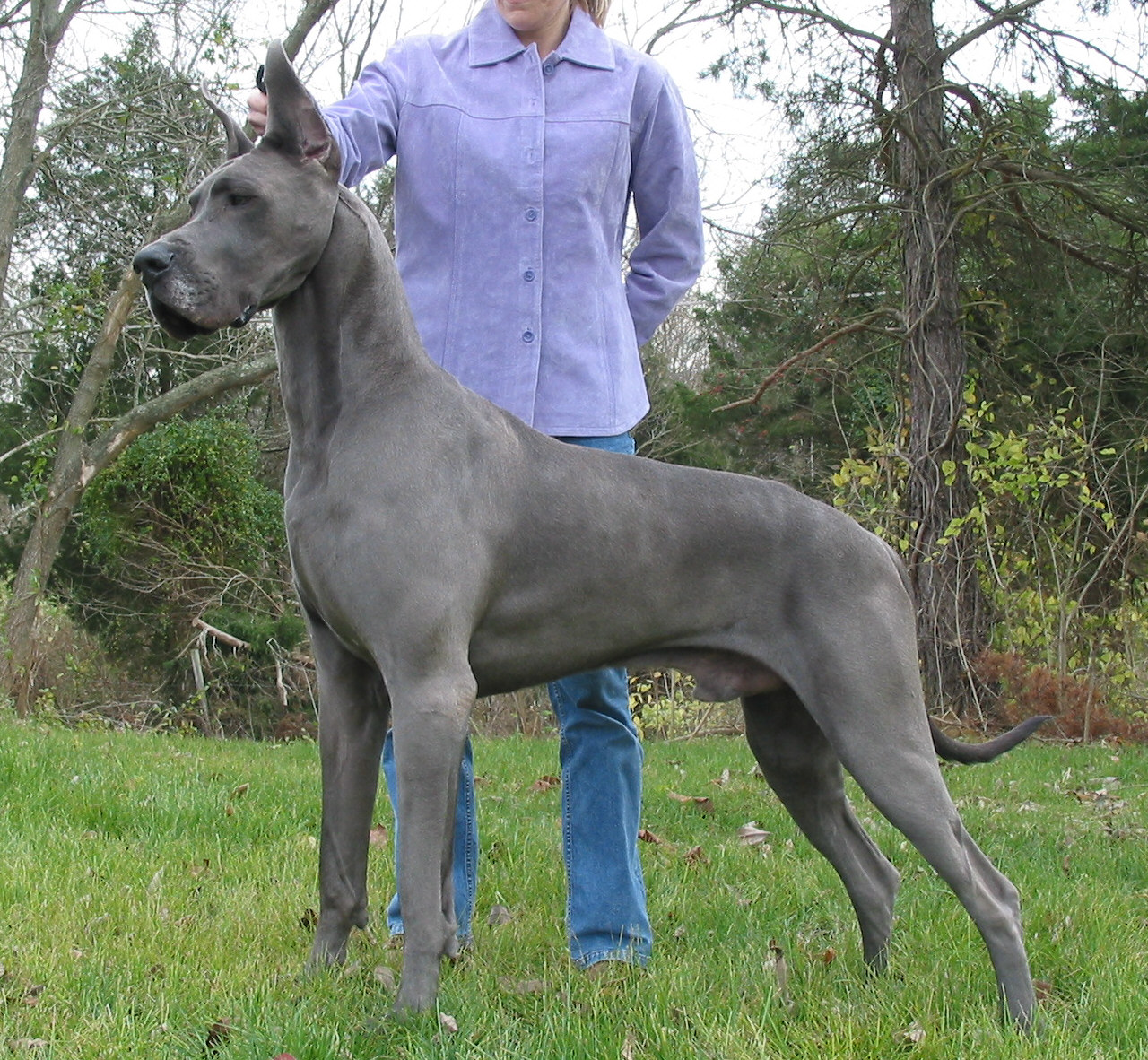 Dog breeds pictures and wallpapers: Great Dane dog