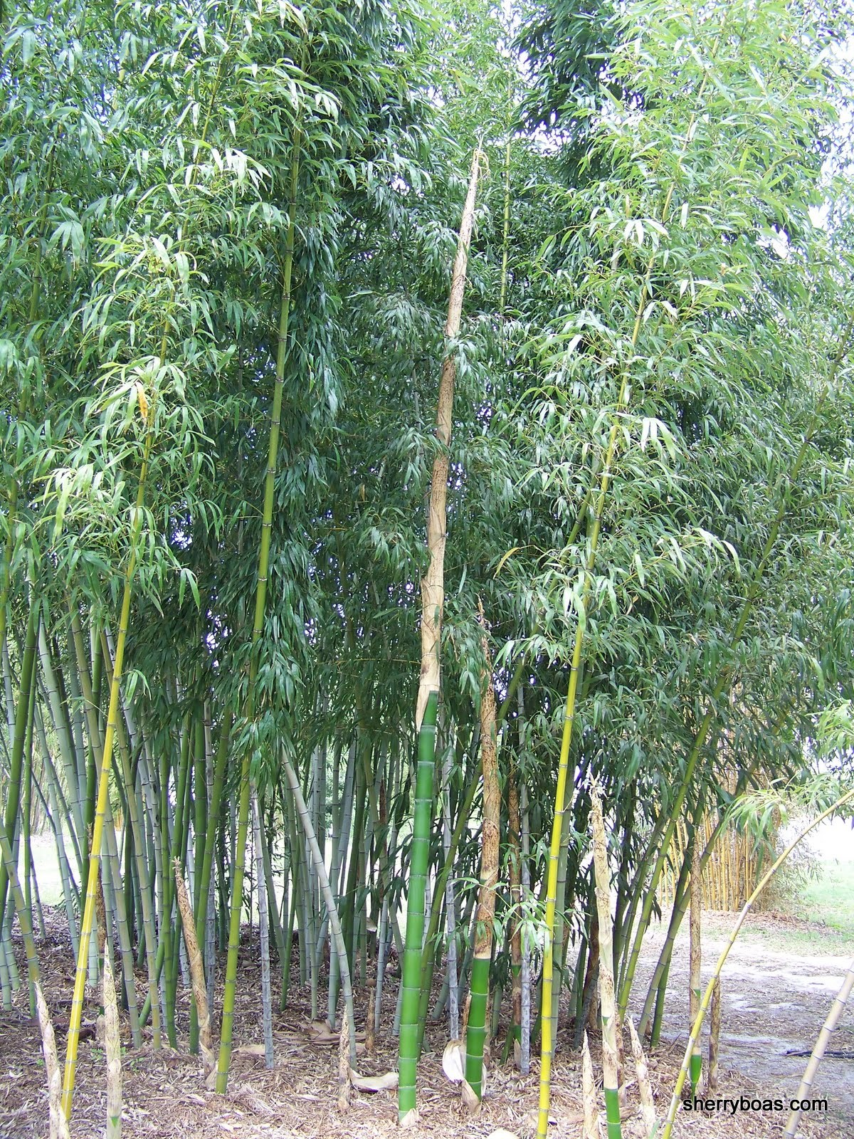 Beautiful bamboo bamboo the fastest growing plant on earth for What can you do with bamboo