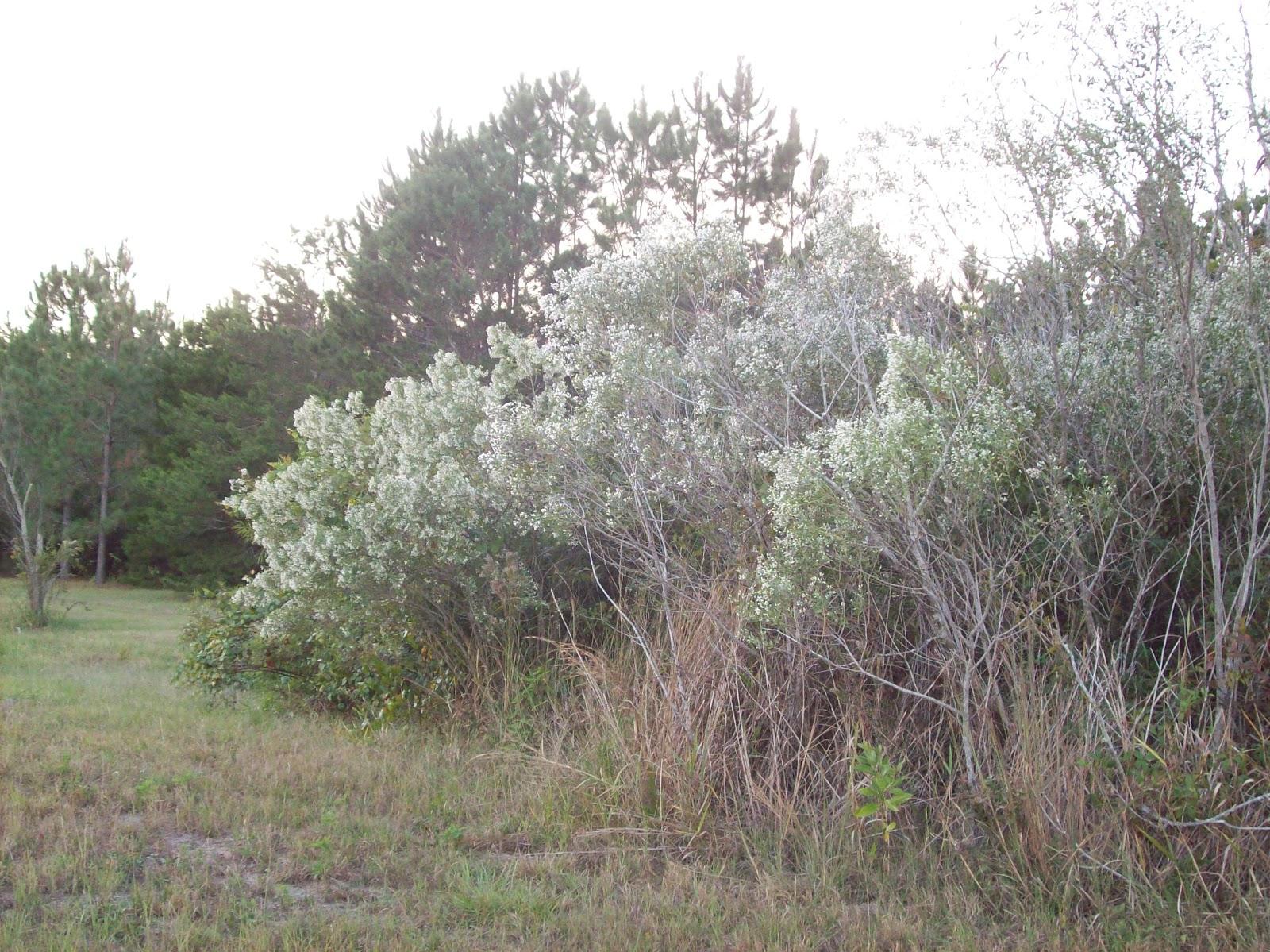 Baccharis Halimifolia Winter