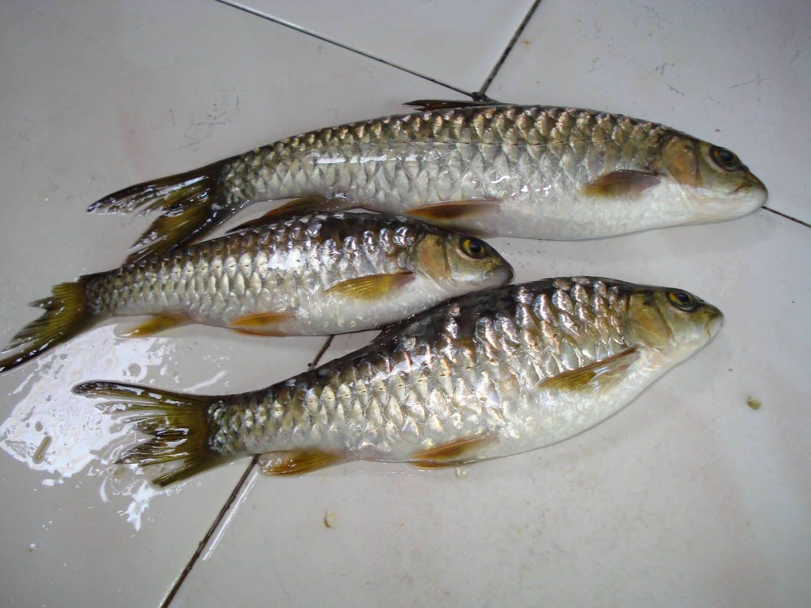 Ikan ikan sungai bil 2