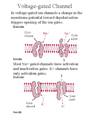 the nervous system ii ion channels 1dorsal nervous system 1 ventral nervous ii type of action on the presence of ion channels needed to be studied experimentally and.