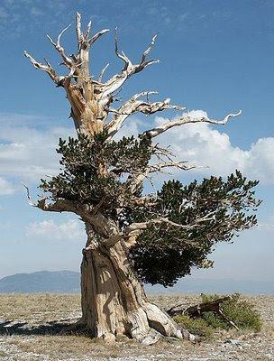 Bristlecone Pine 4200 tahun