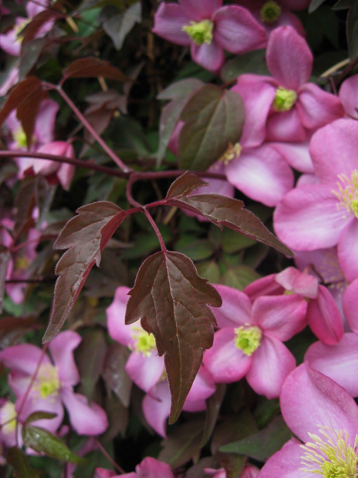 dublin flora clematis montana 39 freda 39. Black Bedroom Furniture Sets. Home Design Ideas