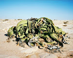 welwitschia mirabilis