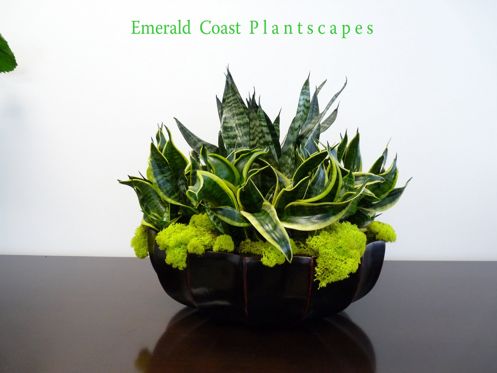 Slaapkamergeluk Plant : Birds Nest Sansevieria Plant