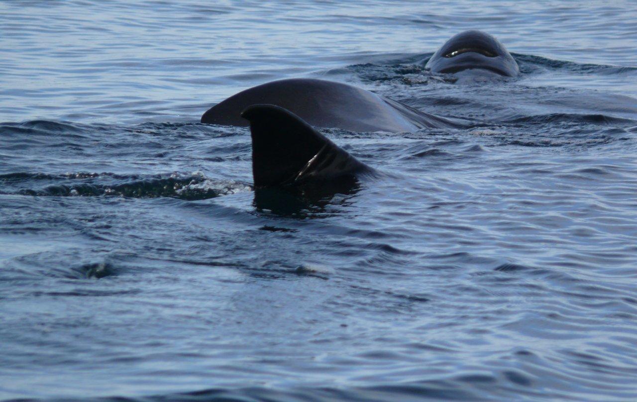 Basking Shark Summer