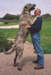 L'Irishwolfhound