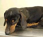 Tratamento de acupunctura num cão
