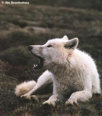 Ficha de Cloud Greywolf-arcticwolf
