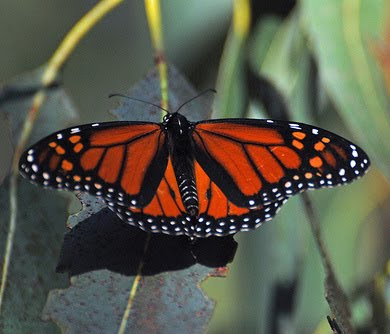 Monarch Butterfly Trivia Image Search Results