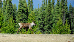 Woodlands Caribou Along Highway